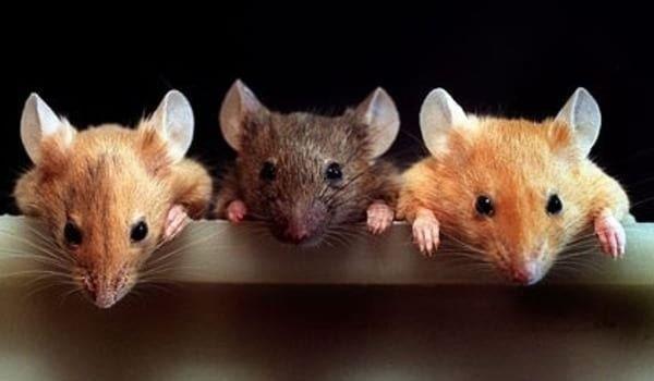 Сонник мышь кидается. к чему снится мышь кидается видеть во сне - сонник дома солнца