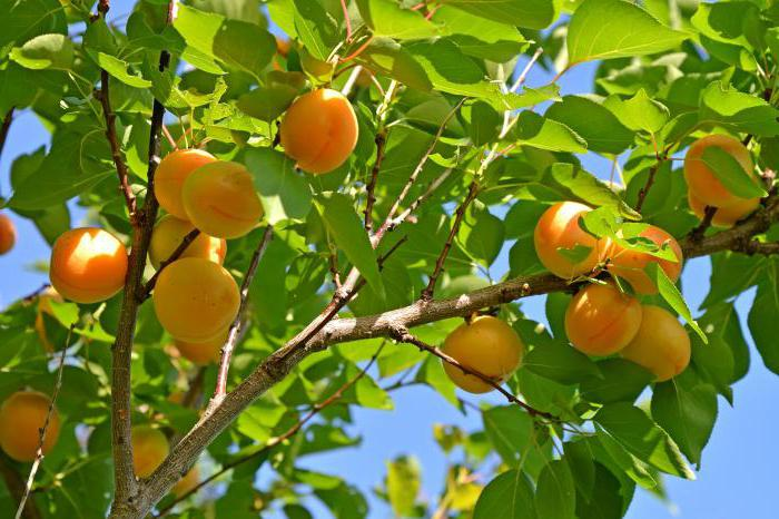 К чему снятся абрикосы: девушке, женщине, беременной, мужчине – толкование по разным сонникам