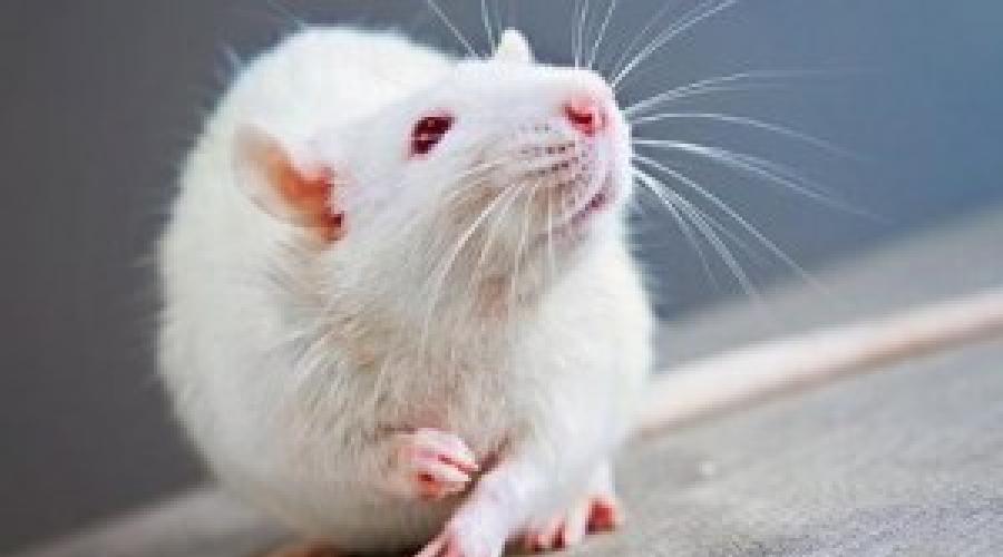 Сонник белые крысы. к чему снится белые крысы видеть во сне - сонник дома солнца