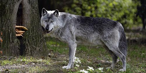 Сонник волк  приснился, к чему снится волк во сне видеть?