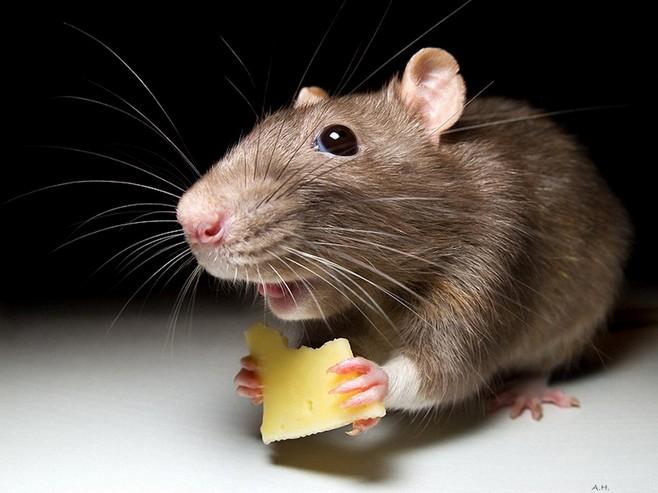 Приснилась мертвая крупная крыса во сне