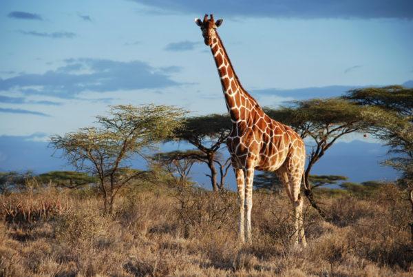 Сонник жираф бежит. к чему снится жираф бежит видеть во сне - сонник дома солнца