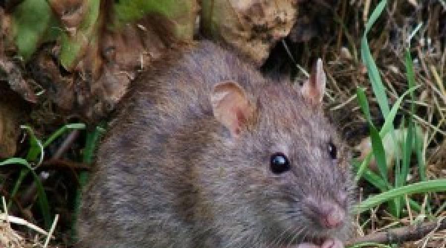 Сонник белая крыса в клетке. к чему снится белая крыса в клетке видеть во сне - сонник дома солнца
