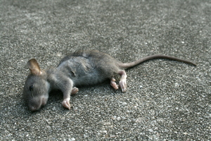 Сонник дохлые крысята. к чему снится дохлые крысята видеть во сне - сонник дома солнца