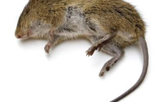 Сонник мышь под одеждой. к чему снится мышь под одеждой видеть во сне - сонник дома солнца