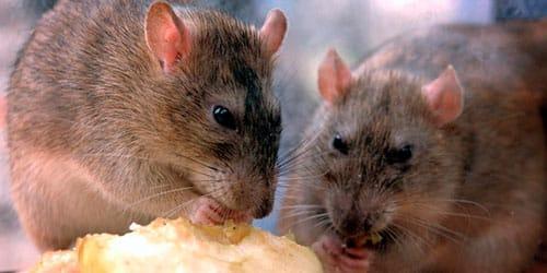 Сонник семейство мышей. к чему снится семейство мышей видеть во сне - сонник дома солнца