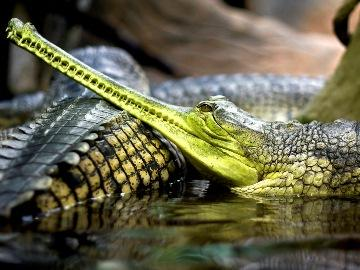 К чему снится крокодил женщине