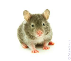 Мышь под одеждой