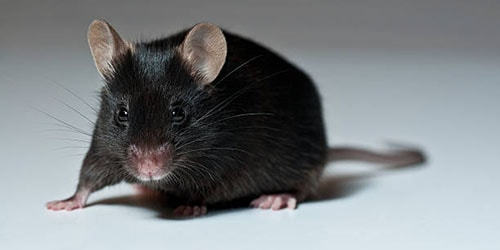 Сонник мышь на работе. к чему снится мышь на работе видеть во сне - сонник дома солнца