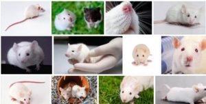 Сонник поймать белую мышь руками. к чему снится поймать белую мышь руками видеть во сне - сонник дома солнца