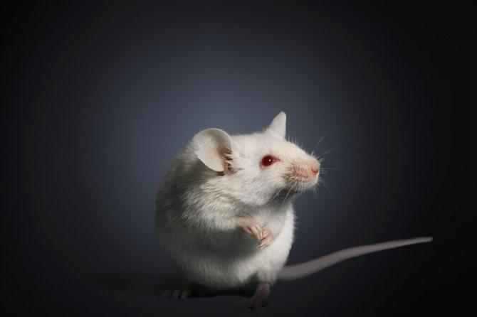 Сонник мыши белые и серые. к чему снится мыши белые и серые видеть во сне - сонник дома солнца