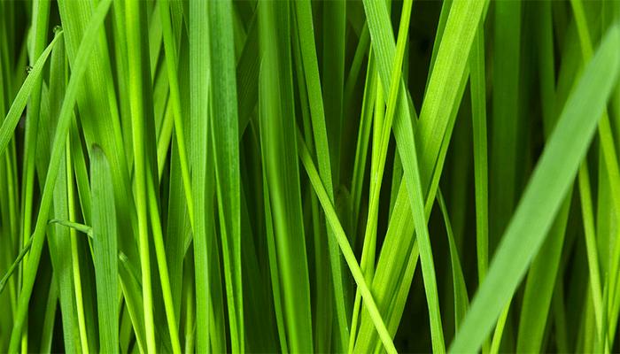 Грядки зеленью