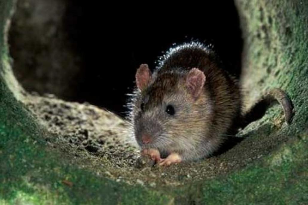 К чему снится крыса. видеть во сне крыса - сонник дома солнца