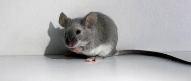 Мышь ласковая