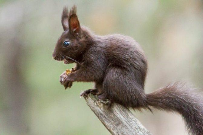 Кормить белку орехами