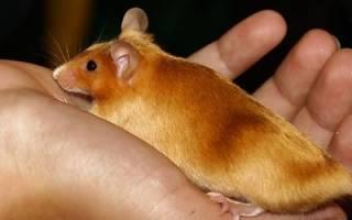 Крысы во сне — толкование по сонникам
