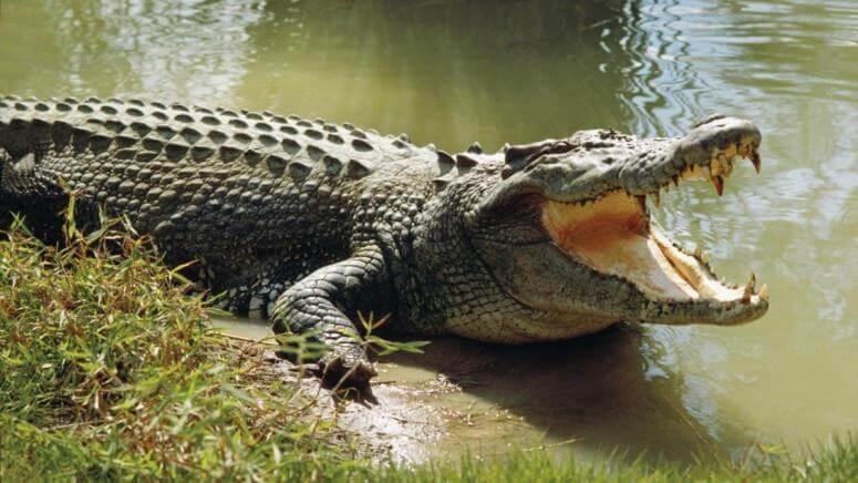 К чему снится крокодил во сне — по 90 сонникам! если видишь во сне крокодил что значит?