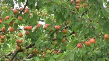 К чему снятся абрикосы: толкование сна по различным сонникам