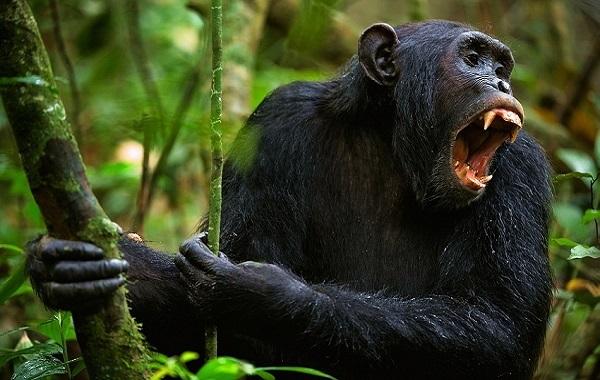К чему снится обезьяна женщине по сонникам
