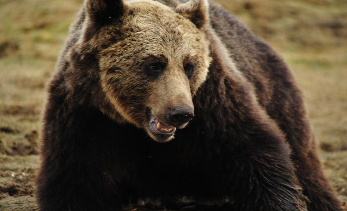 Сонник белый медведь к чему снится женщине