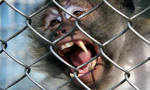 К чему снится обезьяна: женщине, мужчине, обезьяна на руках во сне.