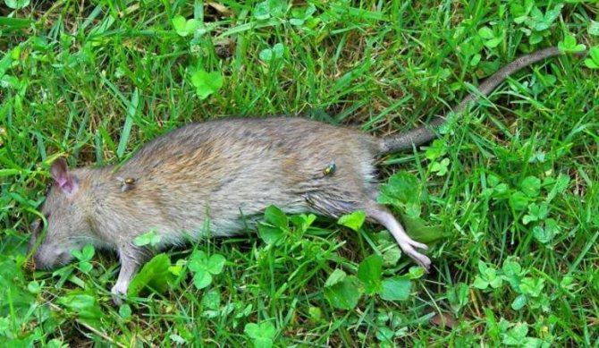 К чему снятся дохлые крысы — толкование по сонникам