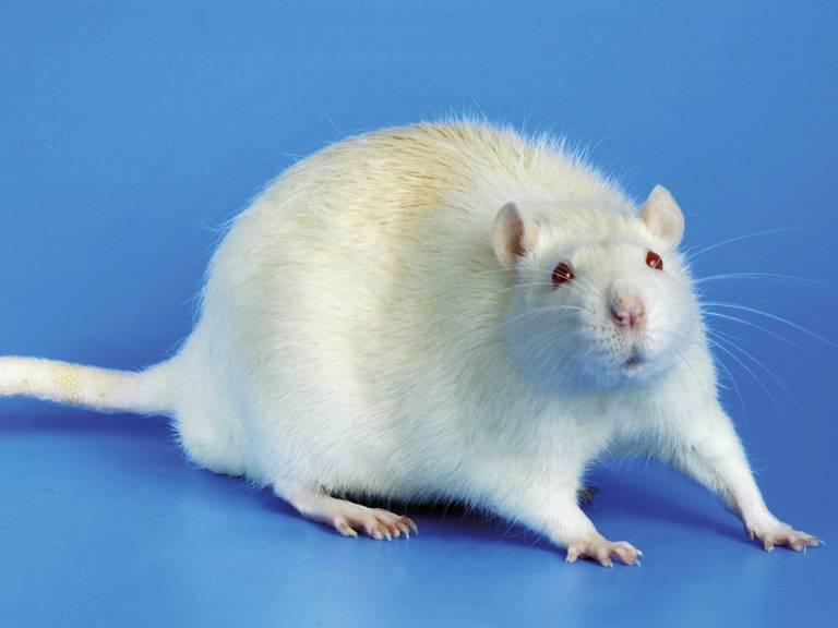 Сонник крыса белая нападает. к чему снится крыса белая нападает видеть во сне - сонник дома солнца