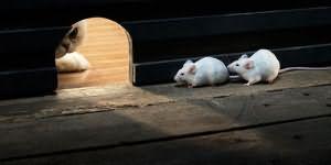 К чему снятся мыши — толкования сна по различным сонникам