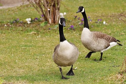 Что означают белые гуси в сновидениях по сонникам — изучаем по пунктам