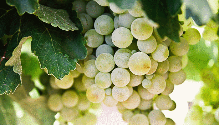 К чему снится виноград. видеть во сне виноград - сонник дома солнца