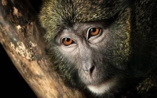 Сонник обезьяна  приснилась, к чему снится обезьяна во сне видеть?