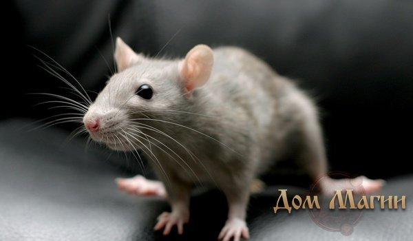 К чему снятся мертвые крысы и мыши, и что означает этот сон