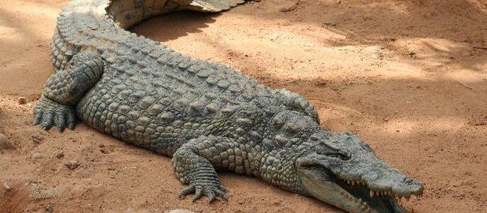 К чему снится крокодил женщине — толкование в различных сонниках