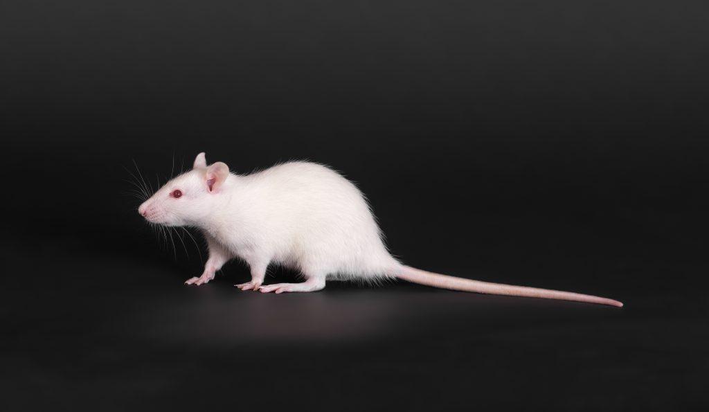 Сонник мышь приснилась, к чему снится мышь во сне видеть?